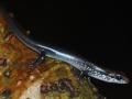 Sphenomorphus cherri Jacó nov 2012 (2)