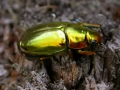 gold beetle 027