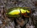 gold beetle 027